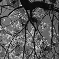 Tabebuia Tree 1 by Denise Mazzocco