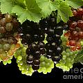 Table Grapes by Craig Lovell
