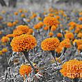 Tagetes Erecta / Aztec Marigold Flower by Image World