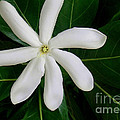 Tahitian Gardenia by James Temple