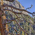 Tahquitz And The Pine by Scott Campbell