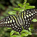 Tailed Jay by Bryan Keil