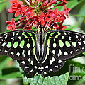 Tailed Jay Butterfly by AnnaJo Vahle