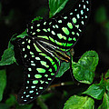 Tailed Jay Butterfly by Eva Kaufman