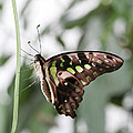 Tailed Jay Butterfly by Judy Whitton
