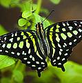 Tailed Jay Butterfly  by Saija  Lehtonen
