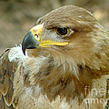 Tawny Eagle-11 by Gary Gingrich Galleries
