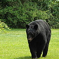 Tall Blackbear by Cheryl King