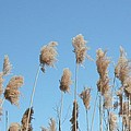 Tall Feathered Grass Hits Sky by Gail Matthews