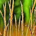 Tall Grain by Glenn McGloughlin