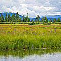 Tall Grasses In Swan Lake In Grand Teton National Park-wyoming by Ruth Hager