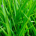 Tall Green Grass by Tikvah's Hope