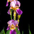 Tall Iris by Robert Bales