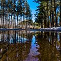 Tall Pines by Randy Scherkenbach