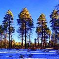 Tall Ponderosa Pine by Jim Buchanan