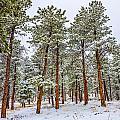Tall Snowy Pines by Ed Fiske