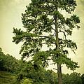 Tall Tree by Shane Holsclaw