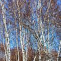 Tall White Birches by Anne Cameron Cutri