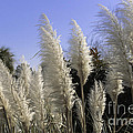 Tall Wispy Pampas Grass by Dale Powell