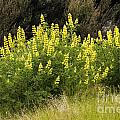 Tall Yellow Lupin by Bob Phillips