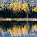 Tamarack Reflections by Alan L Graham