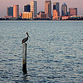 Tampa Skyline And Pelican by Carol Groenen