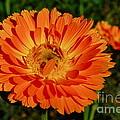 Tangerine Calendula by Photography by Tiwago