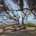 Tangle Of California Trees by Susan Wyman