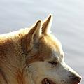 Tanka - Husky by Ericamaxine Price