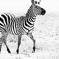 Tanzania Zebra by Chris Scroggins