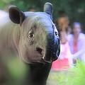Tapir by Shannon Kringen