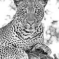 Tarangire Leopard by Max Waugh