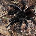 Tarantula Amazon Brazil by Bob Christopher