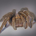 Tarantula by David and Carol Kelly