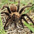 Tarantula by Karen Slagle