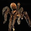 Tarantula Love  by Berta Keeney