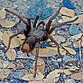 Tarantula Spider In Park Sierra Near Coarsegold-california by Ruth Hager