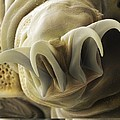 Tardigrade Or Water Bear Foot Sem by Science Photo Library