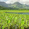 Taro Fields In Hanalei National by Michael Defreitas