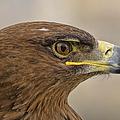 Tawny Eagle 3 by Steev Stamford