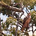 Tawny Eagle by Perla Copernik