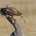 Tawny Eagle With Prey by John Shaw