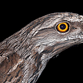 Tawny Frogmouth by Michelle Wrighton