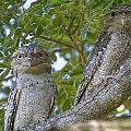 Tawny Frogmouths by Douglas Barnard