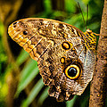 Tawny Owl Butterfly by Jon Burch Photography