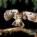 Tawny Owl by Stephen Dalton