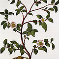 Tea Branch Of Camellia Sinensis by Anonymous