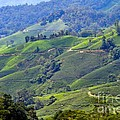 Tea Plantation In The Cameron Highlands Malaysia by Louise Heusinkveld