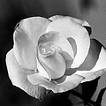 Tea Rose 01 - Infrared by Pamela Critchlow