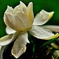 Tears Of A Flower by John Blanchard